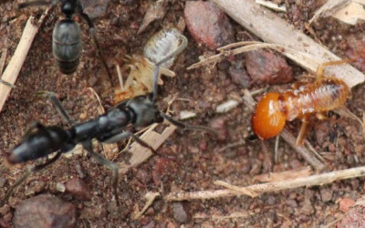 Termites and Ants – What's the difference?
